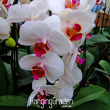 Loss Promotion!200 PCS White Phalaenopsis Seeds Butterfly Orchid Potted Seeds Indoor Flowers Bonsai Four Seasons,#H2TFBJ(China)