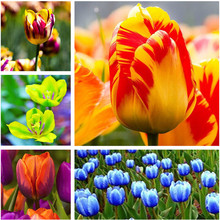 Cheap 100Pcs Tulip Seed Tulip Flower Beautiful Tulipanes Flower Plant For Garden plants(Not Tulip Bulbs ) Flower Symbolizes Love