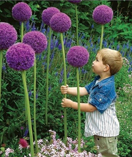 100 seeds/pack 3 Variety Color Allium Giganteum Beautiful Rate 95% Rare Flower For Kid Garden Decoration Bonsai Flower Seeds(China)