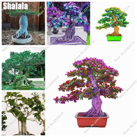 Evergreen-Ficus-Religiosa-Seeds-5pcs-Outdoor-Garden-Perennial-Sacred-Fig-Seeds-Colorful-Bodhi-Tree-Seeds-Easy.jpg_200x200