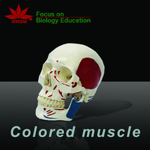Medical science colored muscle in half head life size  human skull model