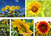 Garden Plant Ornamental plant sunflower seeds, teddy bear sunflowers, ornamental flower  seeds,about 100 particles Bonsai Seed