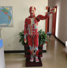 ISO 170cm Body Muscles Anatomical Model,Human Muscle Breakdown Model,Muscle Anatomy Model