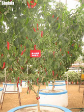 Exotic Chili Pepper Seeds Big Bonsai Tree Seeds Garden Ornaments Plants Organic Non-Gmo Greenhouse Hot Pepper Chile 200 Pcs(China)