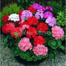 20pcs geranium seeds, potted seeds, flower seeds ( mixed colors )