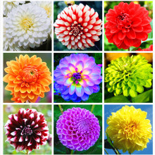 Buy 1 Bulb Dahlia Bulbs (Not Dahlia Seeds)Beautiful Perennial Bonsai Flower Gorgeous Flower Balcony Potted Plant Home Garden for $1.07 in AliExpress store
