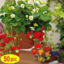 50 seeds/pack Four Seasons potted strawberry seeds perennial results balcony flower seeds 50 seeds of fruits and vegetables