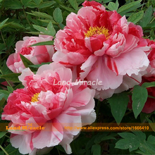 Rare Heirloom 'HuaErQiao' Red White Mix Peony Flower Seeds, 5 Seeds, Garden Plants Paeonia suffruticosa-Land Miracle