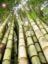 20pcs Bag Fresh Giant Black Bamboo Seed Bambusa Lako Tree Species Perennials For Home Garden