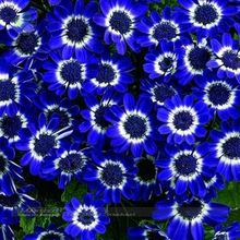 Marseed 50 pcs Rare Flower Plant Pot Hot Sale Blue Daisy Flower Bonsai Blue Cineraria Gardening Home Decoration Exotic MAS008