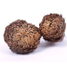 New Magic Resurrection Plant Rose of Jericho Dinosaur Plant Air Fern Selaginella Moss #61285