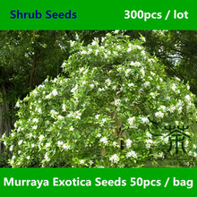 Mock Orange Murraya Exotica Seeds 300pcs, Murraya Paniculata Orange Jessamine Seeds, Much Loved Satinwood Lakeview Jasmine Seeds(China)