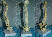 Small model the body of the spine mannequin human skeleton model 23 cm