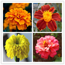 Tagetes patula seeds 50pcs Flowers seed Exotic plants French Marigold seeds Novel plant Home Bonsai.Easy to plant. Free shipping