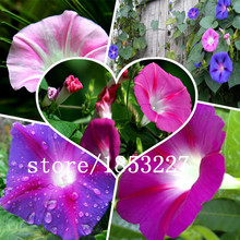 500 seeds /bag Flower seeds imported TM climbing lianas asagao morning glory seeds - Blue  flower seeds