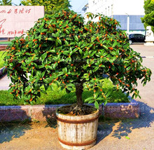 10PCS Bonsai Osmanthus fragrans seeds, Perennial flower plant Tree seeds for home garden Osmanthus is a natural herbal medicine