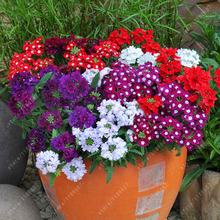 20pcs/bag Verbena hybrida seeds, Rare Bonsai flower seeds Indoor balcony plants flower seeds for Home garden(China)