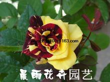 The new multi-color rose garden balcony 100 flower seeds