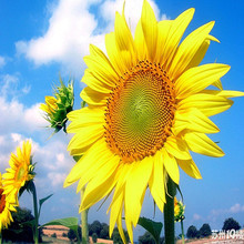 seeds Sale!* 2016*20pcs / bag Giant Sunflower seeds, garden plants flowers seeds Free Shipping