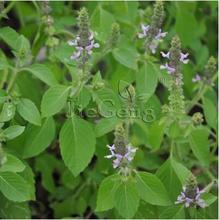 Imported,10pcs/lot Holy Basil(Ocimum Tenuiflorum)seeds Vanilla Aromatic cooking bonsai plant DIY home garden free shipping