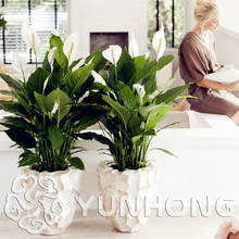100pcs Rare Spathiphyllum Seeds Rosebud Spathiphyllum Perennial Flower Seeds Hardy Plant Bonsai Potted Plant Free Shipping