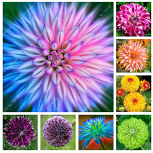 100 PCS / PACK Rare Red and White Point Dahlia Beautiful Flowers Perennial Seeds Seeds for Dahlia Garden DIY