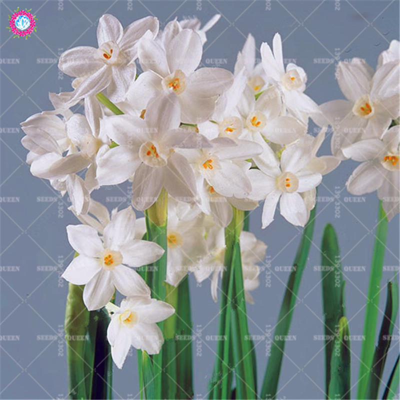 Best-Selling-Beautiful-Narcissus-Flower-Balcony-Plants-Daffodil-Seeds-Absorption-Radiation-Narcissus-Tazetta-Seeds-100-PCS.jpg_640x640 (4)_