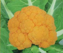 2017 Sale Real Summer Aquarius Excluded Sementes Healthy Vegetable Seeds Golden Cauliflower Seed Selling Family Garden 100seed