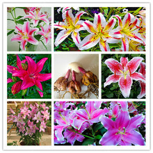 Buy 2 Bulb Perfume Lilies (Not Seeds), Rare Flower Garden Plant, Balcony Bonsai Courtyard Plant Flowers Lily for $1.98 in AliExpress store