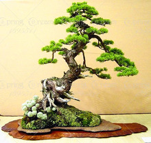 Mini Potted 20 bonsai tree seeds rare Cypress Seeds,bonsai for flower pot planters free shipping