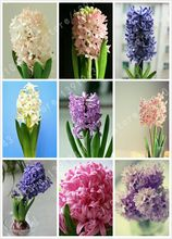 2016 new Hyacinthus Orientalis seeds, cheap Hyacinth seeds, Hyacinth potted seed, Bonsai balcony flower seeds for home garden(China)