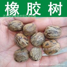 Tree seeds collected authentic  rubber tree Hevea seeds seeds of Hevea brasiliensis seeds can be used as medicine 200g / Pack