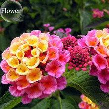 Pink Yellow Lantana Camara Perennial Flowers, 10 Seeds, 'Christine' Shrub Verbenas Ham And Eggs Butterfly Garden E3802(China)