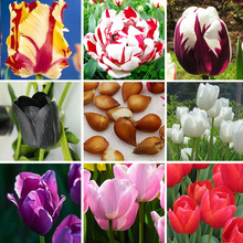 ZLKING 1 pcs Tulip Bonsai Bulbs (Not Tulip Seeds), 19 colors available Tulips Variety Fresh Bulbous Root Flower Corms Planted(China)