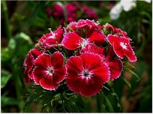 Beautiful faery the pink seeds, garden flowers Dianthus chinensis seeds