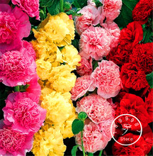 100 Pieces/Lot New Arrival! Double Hollyhock Flower Seeds Mix / Perennial Garden Decoration Bonsai Flower Seeds(China)