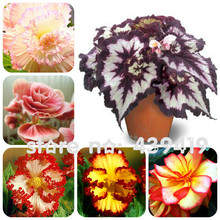 On Sale!!! 24 kinds 200pcs Begonia Seeds Rare Fower Seeds for bonsai Home & Garden Flor potted Plants air purification