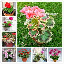 100 pcs/bag geranium seed rare flower seeds Pelargonium Perennial Flower Hardy Plant indoor potted plant for home garden
