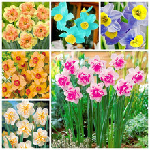 Narcissus Flower Daffodil Seeds Bonsai Plants Double Petals Absorption Radiation Potted DIY Home Garden Plant 100 Pcs(China)