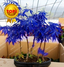 30pcs hot sale JAPANESE BLUE MAPLE SEEDS RARE rainbow color purple plant bonsai clean air for home & garden free shipping