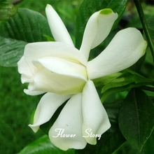 20 Gardenia Seeds Beautiful Balcony Potted Garden Flower Seeds Brighten Up Your Garden Free Shipping