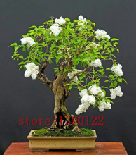 100pcs purple White lilac seeds, lilac clove seeds,bonsai flower seeds,tree seeds ,potted plant for home &garden(China)