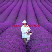 Lavender Seeds 200 / SACO French Provence lavender flowers very fragrant organic garden seeds flower seeds potted plants(China)