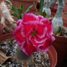 'Rumble Fish' Adenium Desert Rose, 2 Seeds, big blooms fire red & pink edge double petals E4006(China)