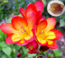 2 Bulbs Red Freesia Bulbs Indoor Potted Flowers Orchids, Freesia Rhizome Survival Rate is High (it is not seed)(China)
