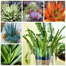 Mixed packing 100 pcs Aloe Vera seeds rare for men medicinal Diy plant bonsai seeds garden indoor pots succulent cactus Sementes