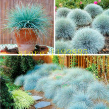 100 pcs grass seeds blue  FESCUE Fesnea Glauca Ornamental Grass Seeds grass seeds for flower pot planters easy grow