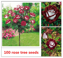 100 pcs/bag Osiria Hybrid Rose seeds , Rare Rose tree Seeds, Fresh Exotic Blood Red and White Rose, Flower Seeds,Perennial plant(China)