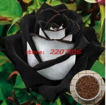 100% Real 200 Seeds China Rare Black + White Rose Professional Flower Seeds Pack