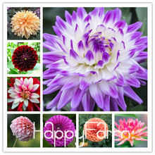 Hardy Heat-resisting Different Perennial Dahlia Flower Seeds, 100 Seeds / Pack, Light Fragrant Garden Bonsai,#NSD9SG